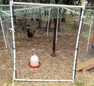 Chicken in Jail