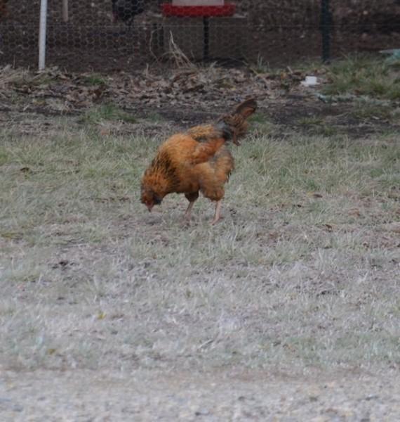 Cold Chicken