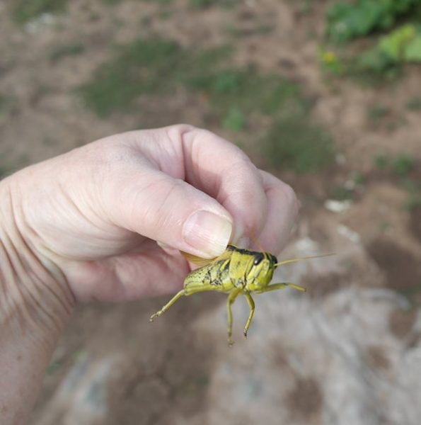 Soon to be Squished Grasshopper